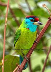 Blue-throated Barbet, Bhutan