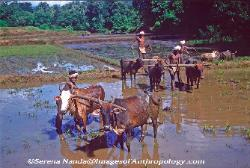 Plowing with bullocks in rural India Orissa