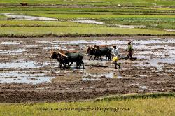 Plowing rice paddies,Madagascar