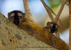 Brown Lemur and child, Madagascar