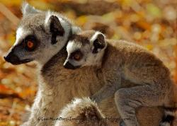 Ring Tailed Lemur mother and baby,Madagascar