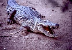 Crocodile, Kenya