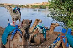 Camels along the Nile River near the first cataract, Egypt