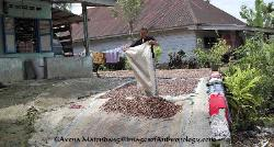 Kemiri bean farmer in northern Sumatra Indonesia