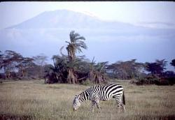 Zebra with Mt. Kilimanjaro in background, Amboseli, Kenya