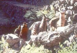 Quetchua herders with llamas, Andes Mts, Peru