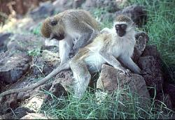 Vervet monkeys, Kenya