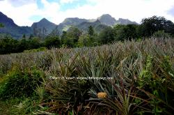 Pineapple plantation, Moorea, French Polynesia