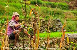 Philippines, northern Luzon, Ifugao, rice terraces, rice paddy