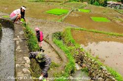 Philippines, northern Luzon, Ifugao, rice terraces, maintenance of rice terraces