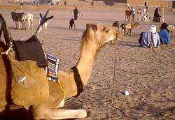 Camel with traditional Tuareg saddle, near Agadez, Niger